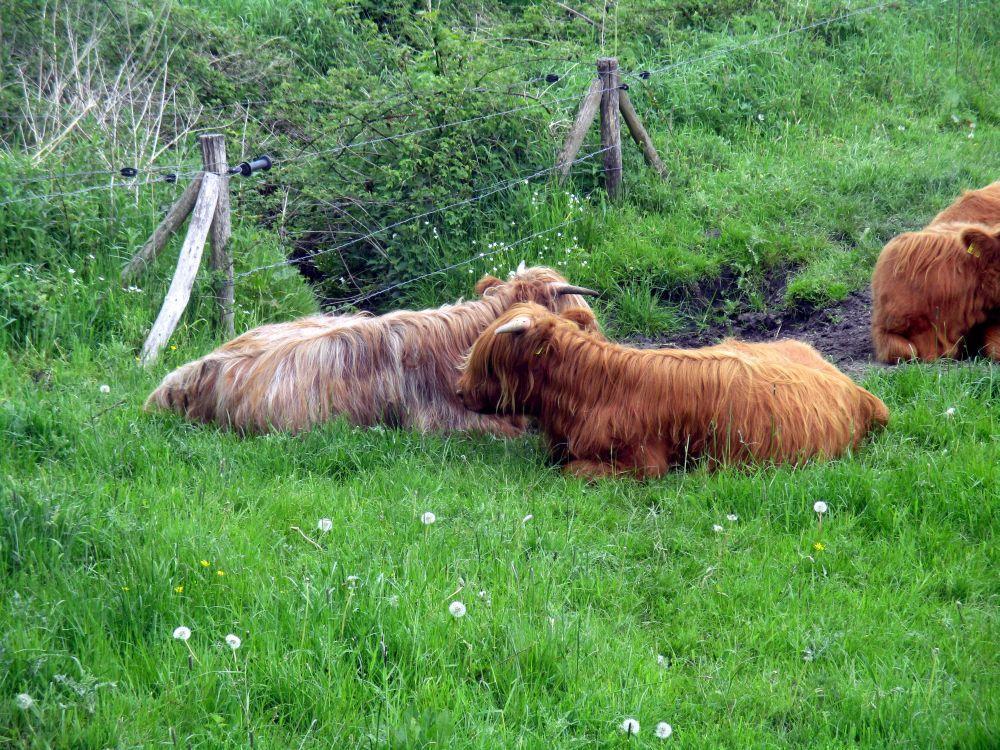 Zwei Gallowayrinder auf einer saftig grünen wiese. Die beiden Plüschkühe umhalsen sich während sie auf der Wiese liegen. Sie haben beide orangerotes kuschelig aussehendes Fell. Die eine ist dabei etwas heller als die andere.