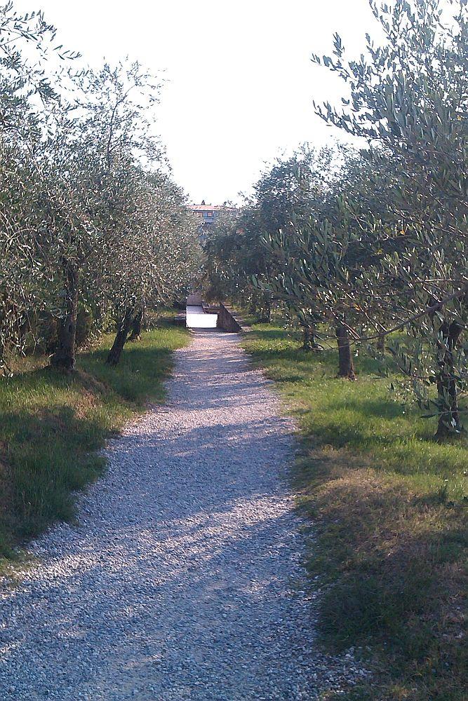 Ein Schotterweg der durch ein Olivenfeld führt.