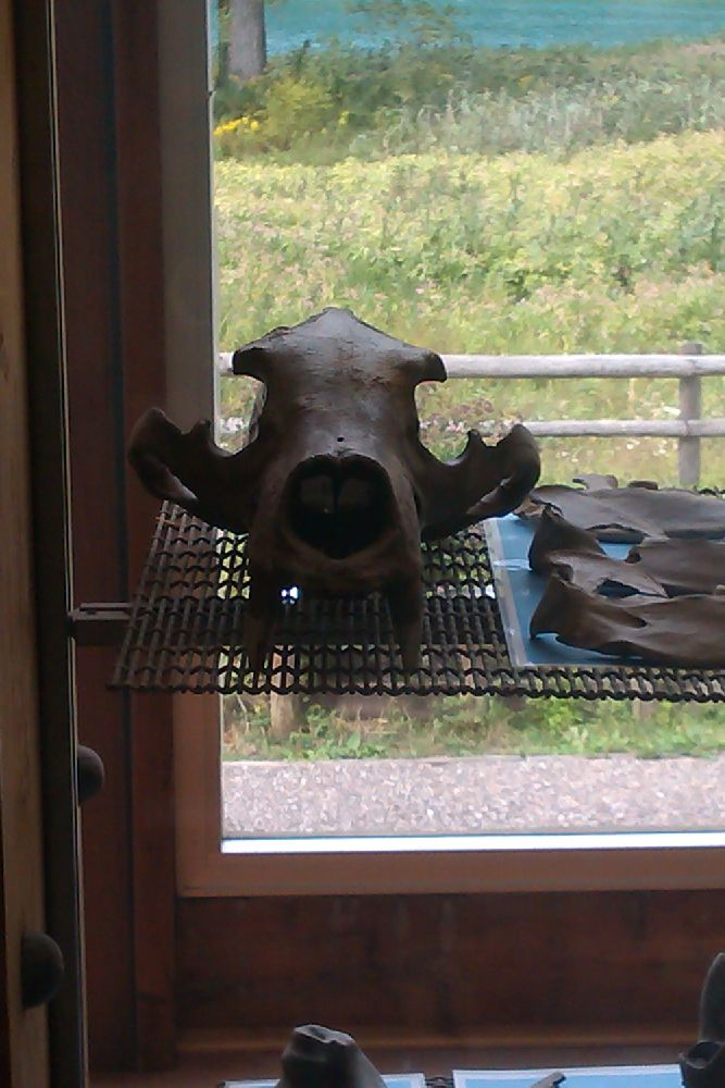 Der Schädel eines Bären von vorne betrachtet. Der Unterkiefer fehlt.