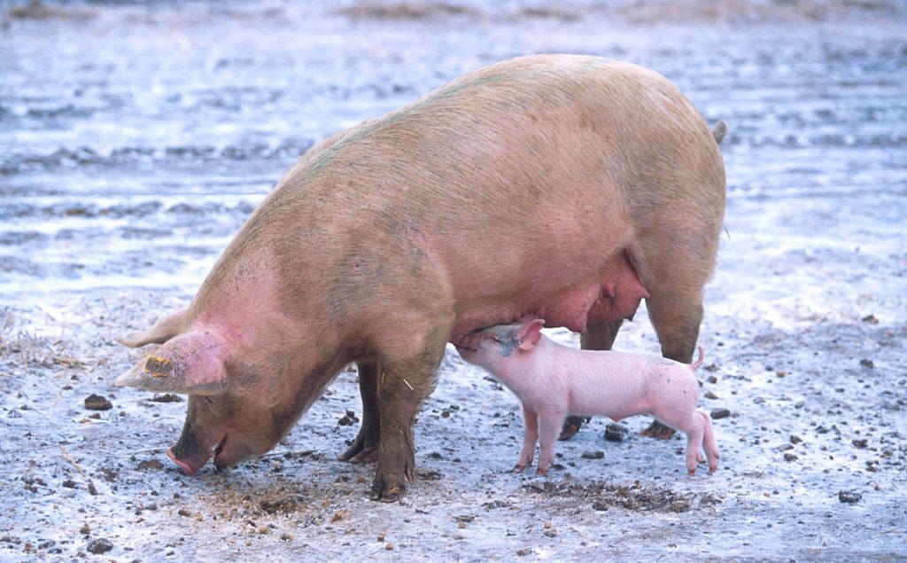 DNA-Analysen zeigen so kam das Schwein nach Europa