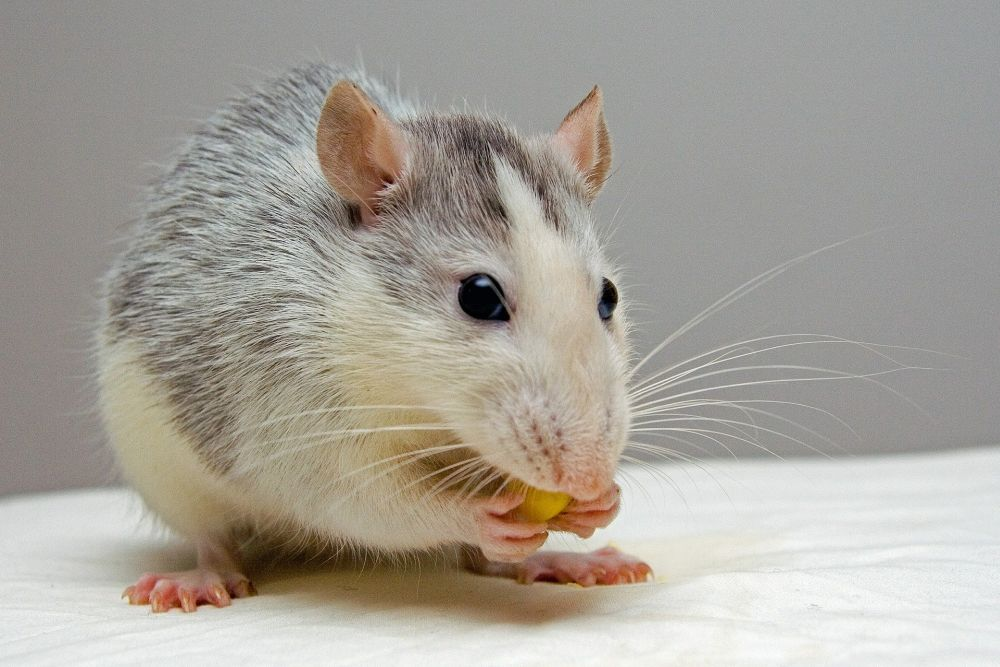 Eine Weißw Ratte bit Graubraunenflecken. Sie knabbert an einem Korn das sie zwischen ihren beiden Vorderpfoten hält.