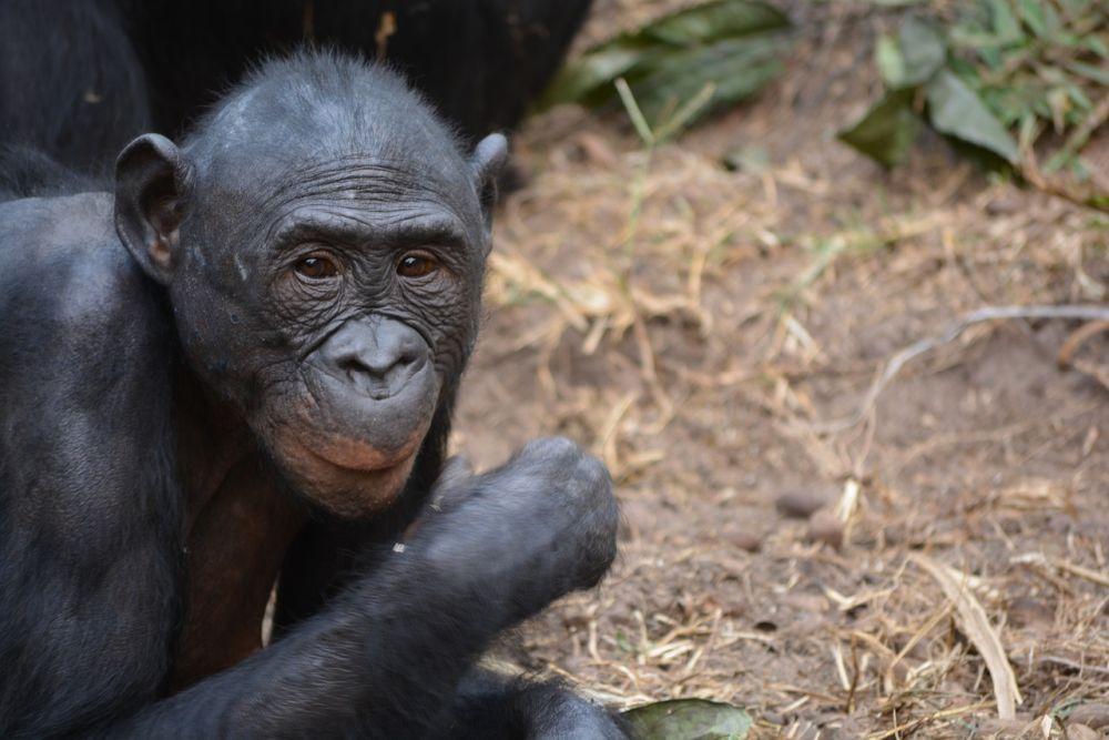Ein Bonobo-Affe. Er sitzt auf dem Waldboden, und schaut aufmerksam etwas an. Der Bonobo wirkt endspannt.
