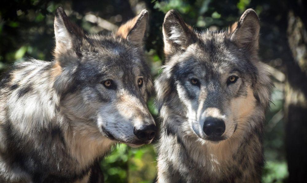 Zwei Wölfe stehen nebeneinander in einem Wald. Sie haben graubraunes Fell und gelbe Augen