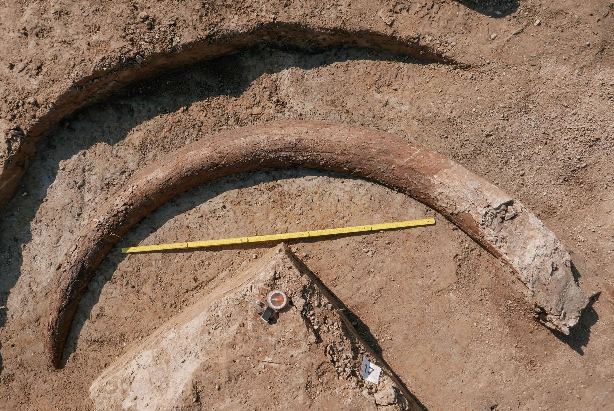 Ein Mammutstoßzahn in Situ mit einem Zollstock als Masseinheit. Der Mammutstoßzahn wurde in Riekhofen bei Regensburg entdeckt.