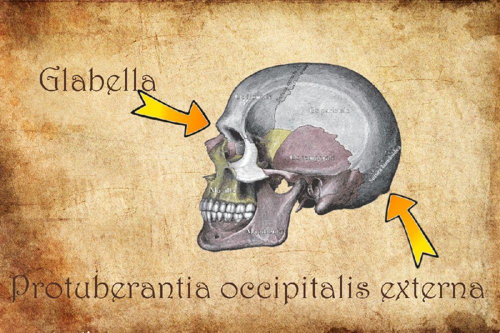 Eine Zeichnung eines Schädels. Die Protuberantia occipitalis externe, und die Glabella sind beschriftet und mit einem Pfeil versehen.
