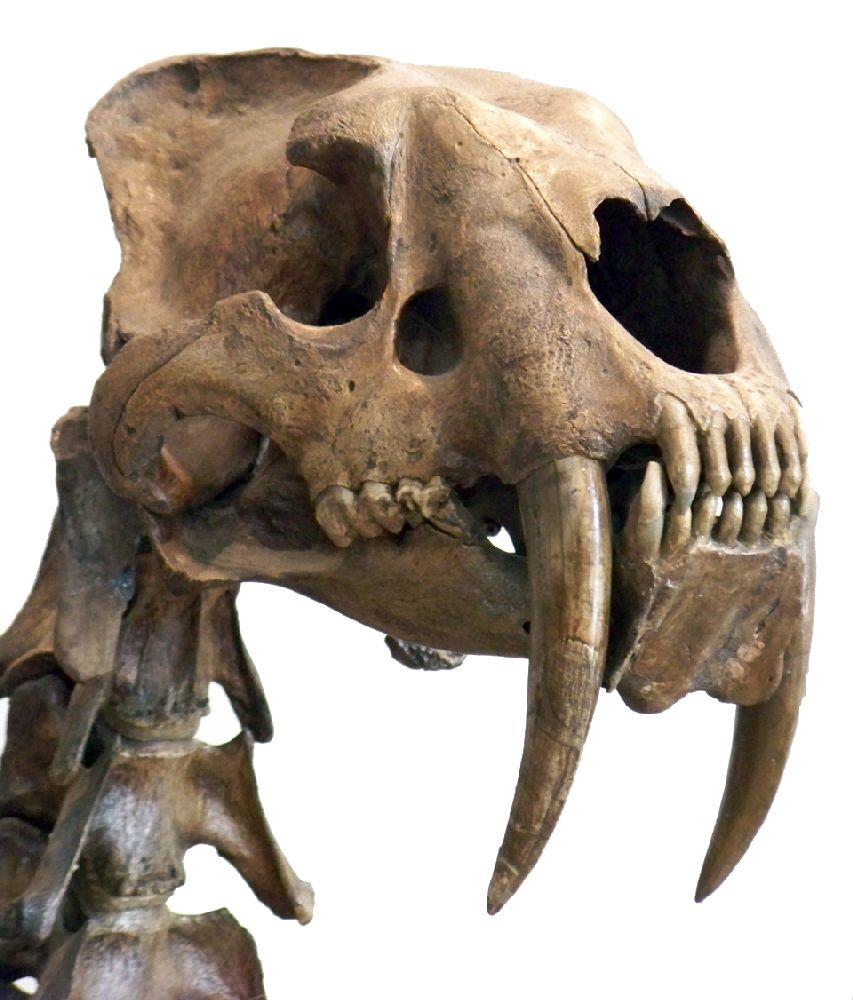 Der Schädel eines Säbelzahntigers