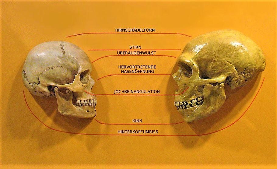 Der Schädel eines Homosapiens und der Schädel eines Neandertalers im Vergleich einander Gegenübergestellt. Es fällt auf, Der Neandertaler ist viel Größer.
