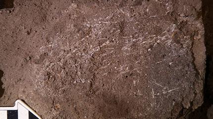 Ein Befundfoto mit Nordpfeil. Es handelt sich um eine Sedimentschicht die mit Fossiliertem Gras durchzogen ist.