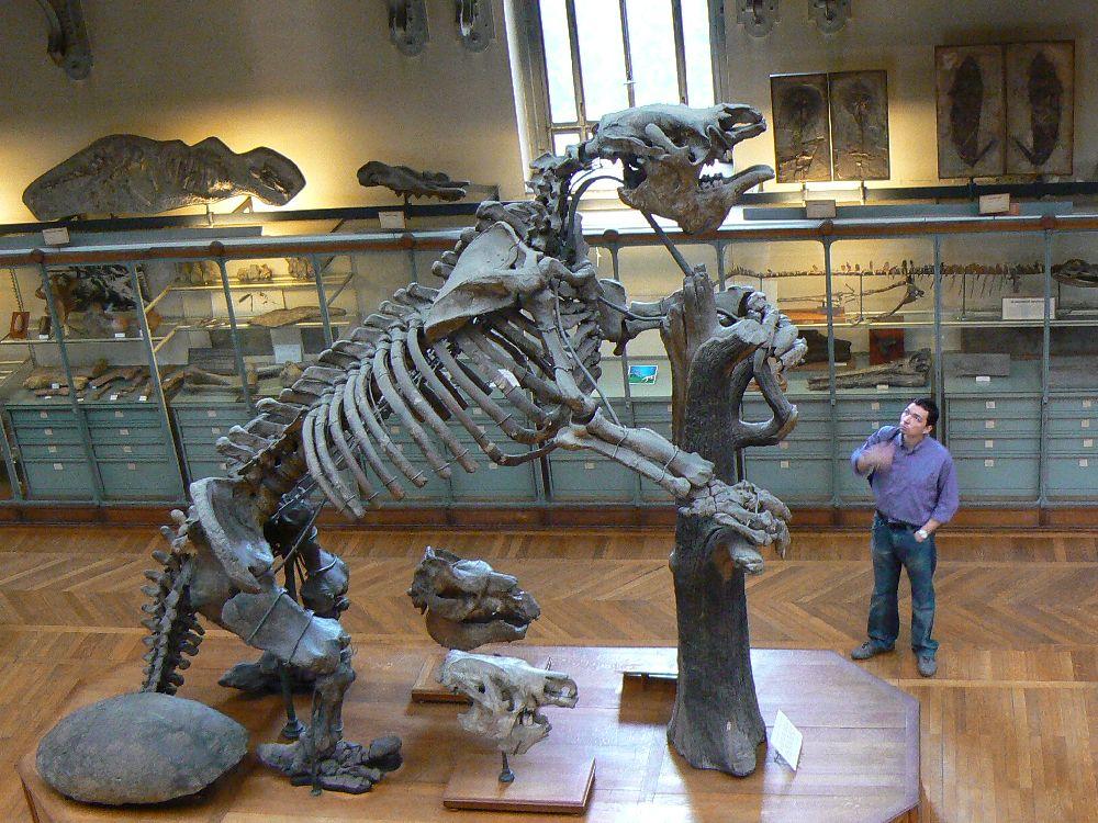 Skelett eines Amerikanischen Riesenfaultiers. Ein Mann steht daneben und wirkt winzig im vergleich