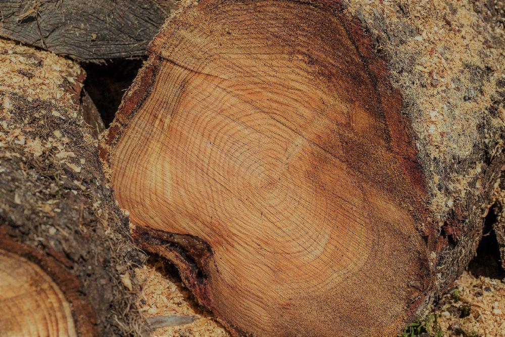 Ein Gefällter Baum. Deutlich zu sehen sind die Baumringe im Inneren.